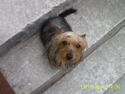 Choupette, chien Yorkshire Terrier