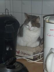 Choupette , chat Européen