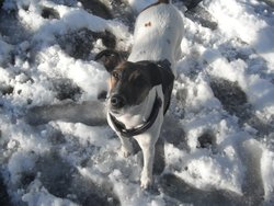 Choupi, chien Fox-Terrier