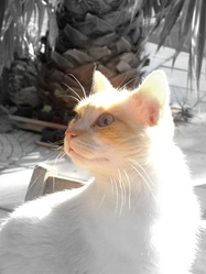 Choupi, chat Siamois