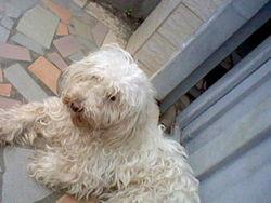 Choupi, chien Caniche