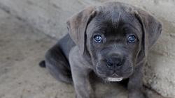 Choupi, chien Cane Corso