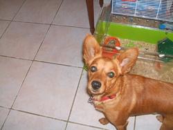 Choupi, chien Pinscher