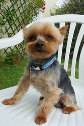 Choupi, chien Yorkshire Terrier