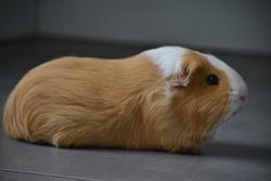 Choupie , rongeur Cochon d'Inde