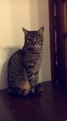 Choupie, chat Européen