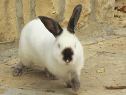 Choupinet, rongeur Lapin
