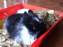 Choupinette, rongeur Lapin