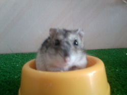 Choupinette, rongeur Hamster