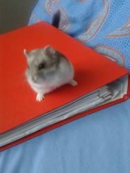 Choupinou, rongeur Hamster