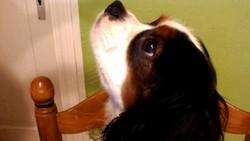 Chouppy, chien Cavalier King Charles Spaniel