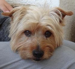 Choupy, chien Yorkshire Terrier