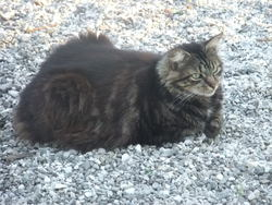 Choupy, chat Maine Coon