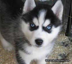 Choupy, chien Husky sibérien