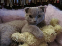 Choupy, chat Scottish Fold