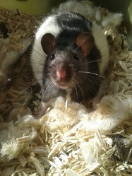 Chouquette, rongeur Rat
