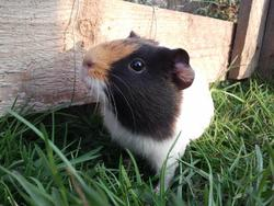 Chouquette, rongeur Cochon d'Inde