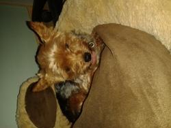 Chouquette, chien Yorkshire Terrier