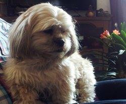 Chouquette, chien Shih Tzu