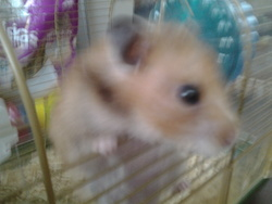Chouquette, rongeur Hamster
