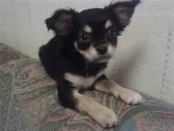 Nutella, chien Chihuahua