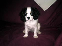 Chouquette, chien Cavalier King Charles Spaniel