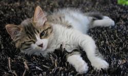 Chouquette, chat Angora turc