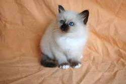 Chouquette, chat Birman