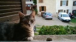 Chouquette, chat Européen