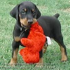 Chouuchou, chien Dobermann