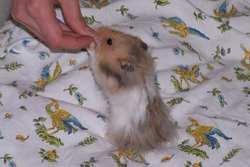 Chris, rongeur Hamster