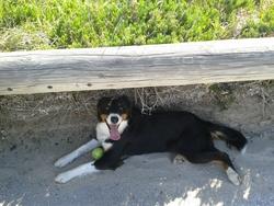 Christaline, chien Berger australien