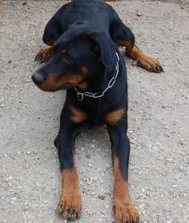 Chronos Des Templiers De Montfort, chien Beauceron