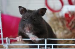 Chrysalis, rongeur Hamster