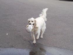 Chrystal, chien Golden Retriever