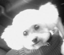 Chrystal, chien Bichon à poil frisé