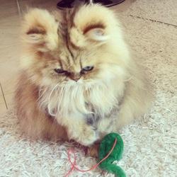Chrystale, chat Persan