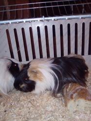 Chubaka, rongeur Cochon d'Inde