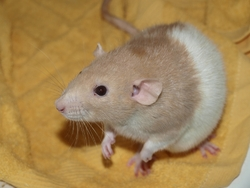 Chubaka - Rip, rongeur Rat