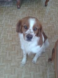 Chuck, chien Épagneul breton