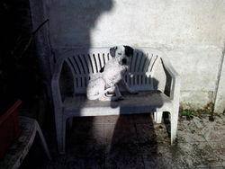 Chuck, chien Dogue argentin