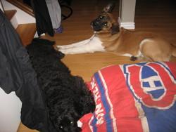 Chuck, chien Saint-Bernard