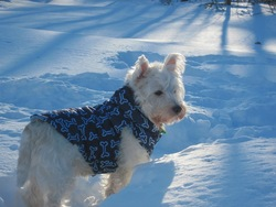 Chuck , chien West Highland White Terrier