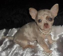 Chuck, chien Chihuahua