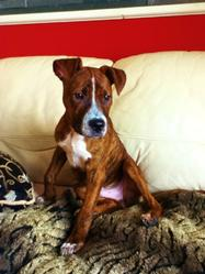Chuck Noriss, chien American Staffordshire Terrier
