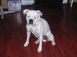 Chucky, chien Boxer