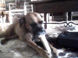 Chui, chien Boxer