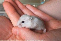 Chuk, rongeur Hamster