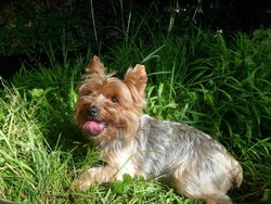 Chuky, chien Yorkshire Terrier