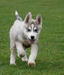 Chuky, chien Husky sibérien